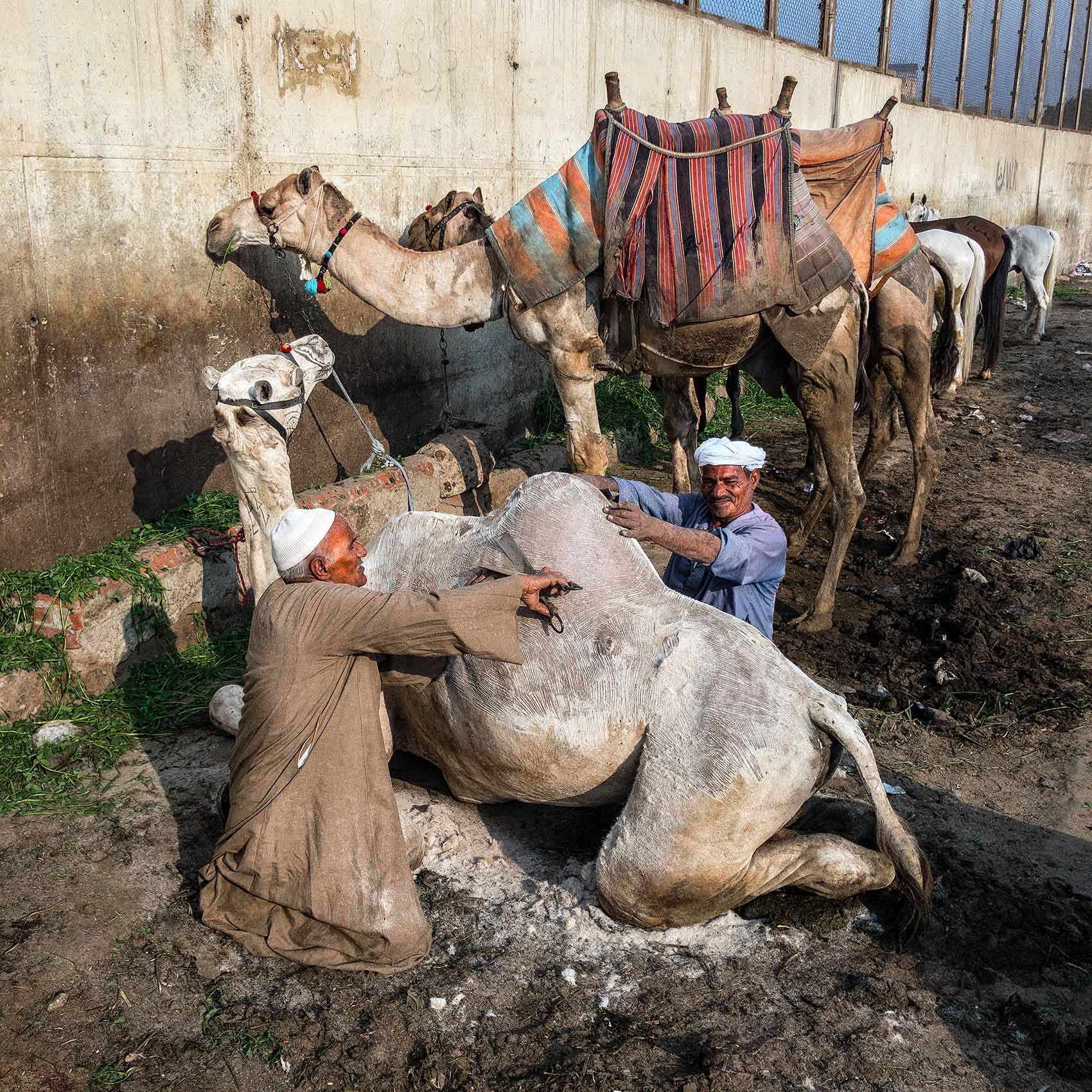 a camel gets a hair cut before heading out to be ridden by tourists at the great pyramids