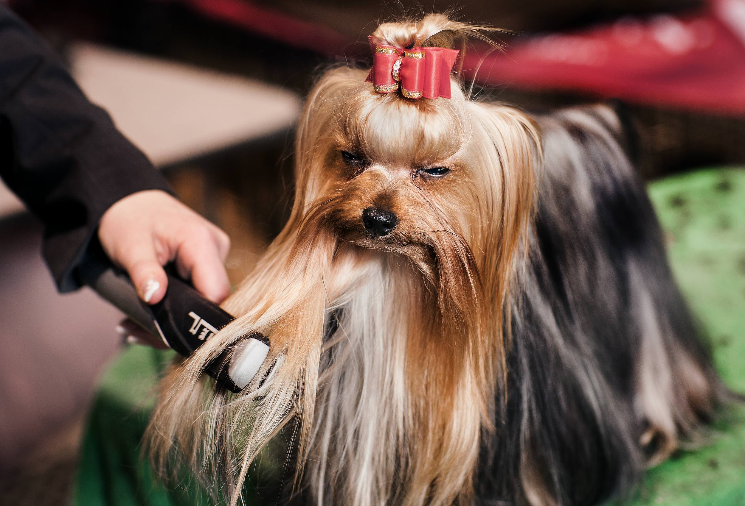 a-dog-being-groomed-at-the-purina-national-dog-show-in-new-york