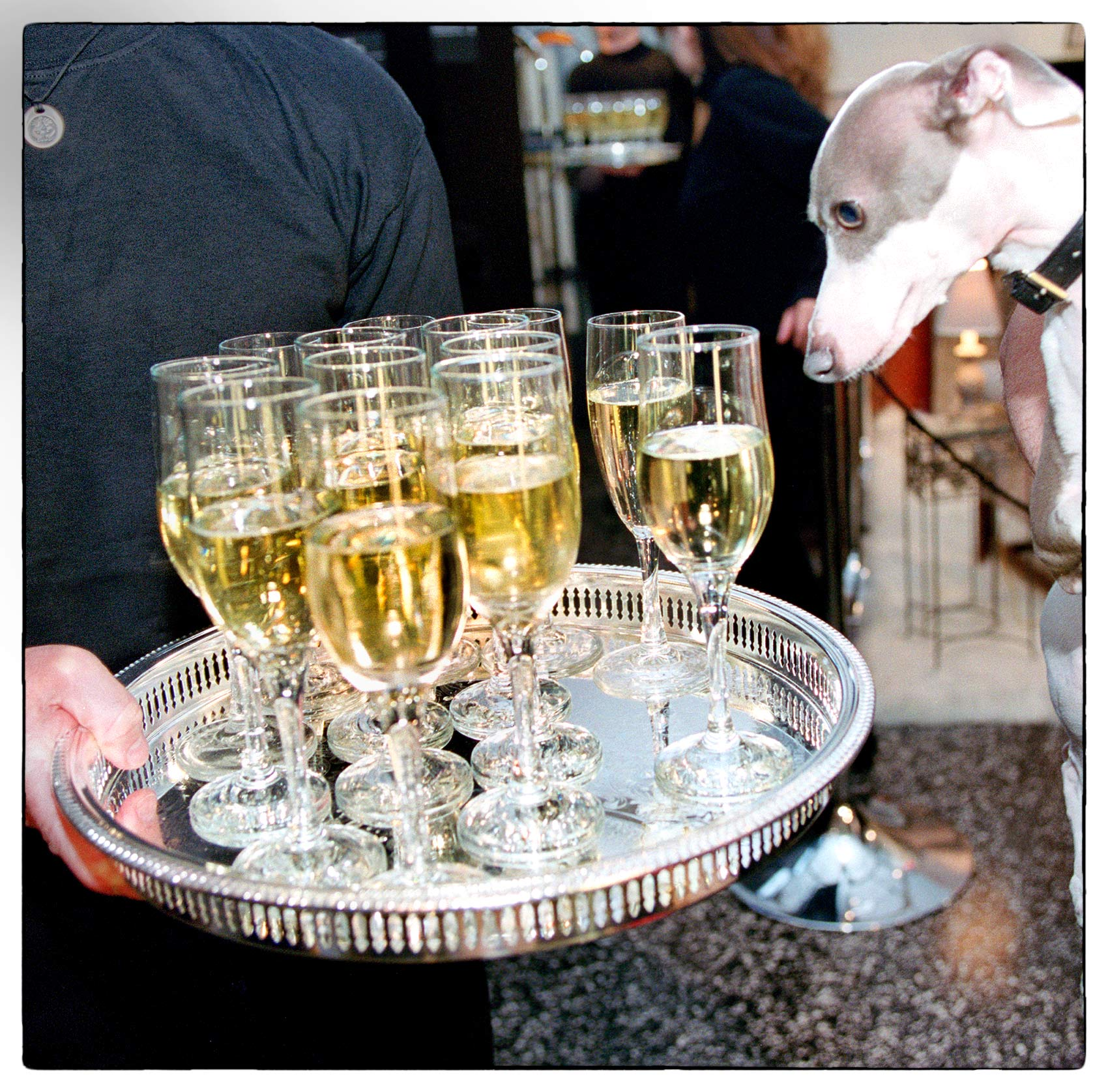 a-dog-stares-at-a-tray-of-champagne-glasses-during-a-party-at-much-music-tv-in-toronto