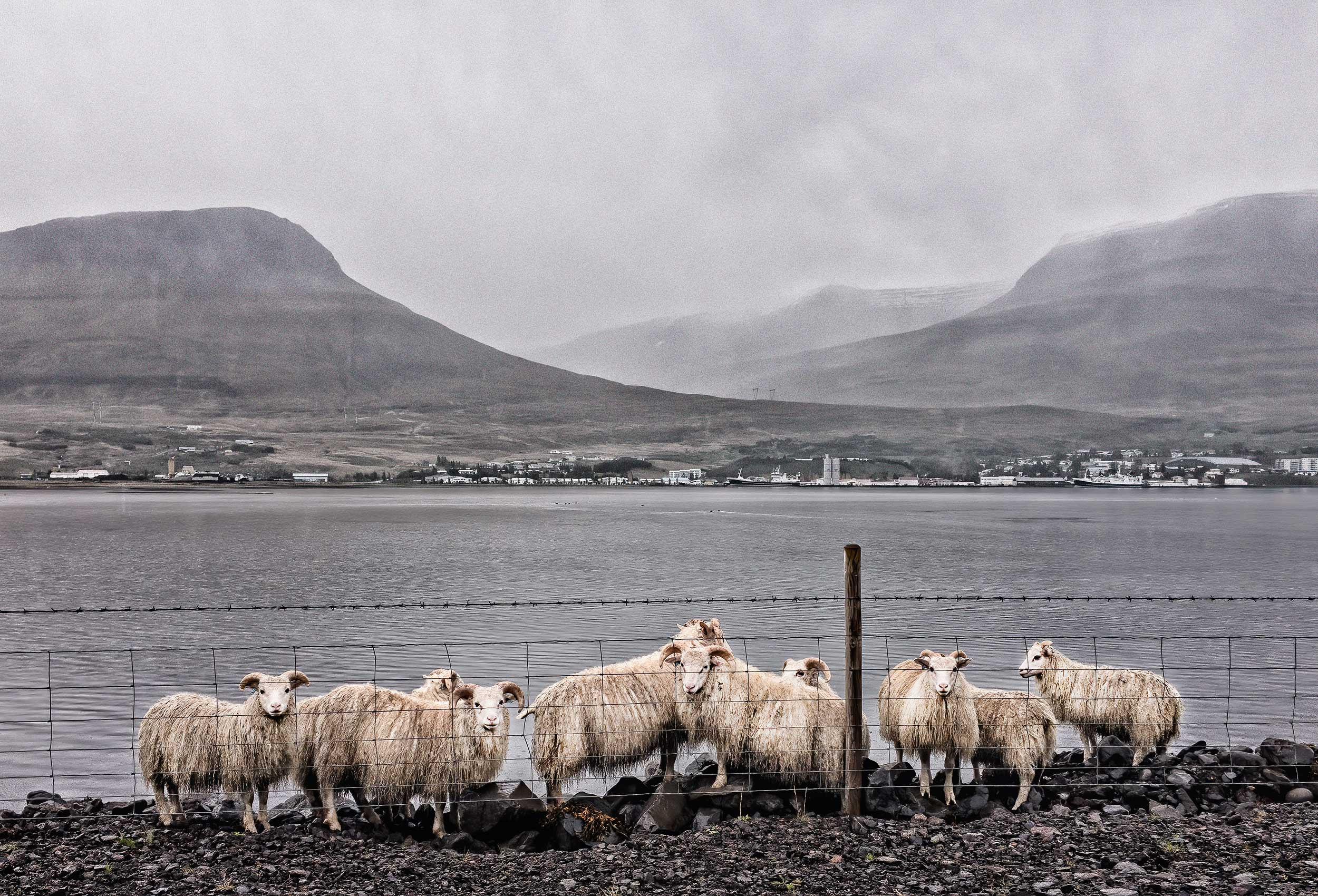 a-group-of-iceland-sheep-are-trapped-behind-a-fence-next-to-an-inlet-in-a-small-icelandic-town