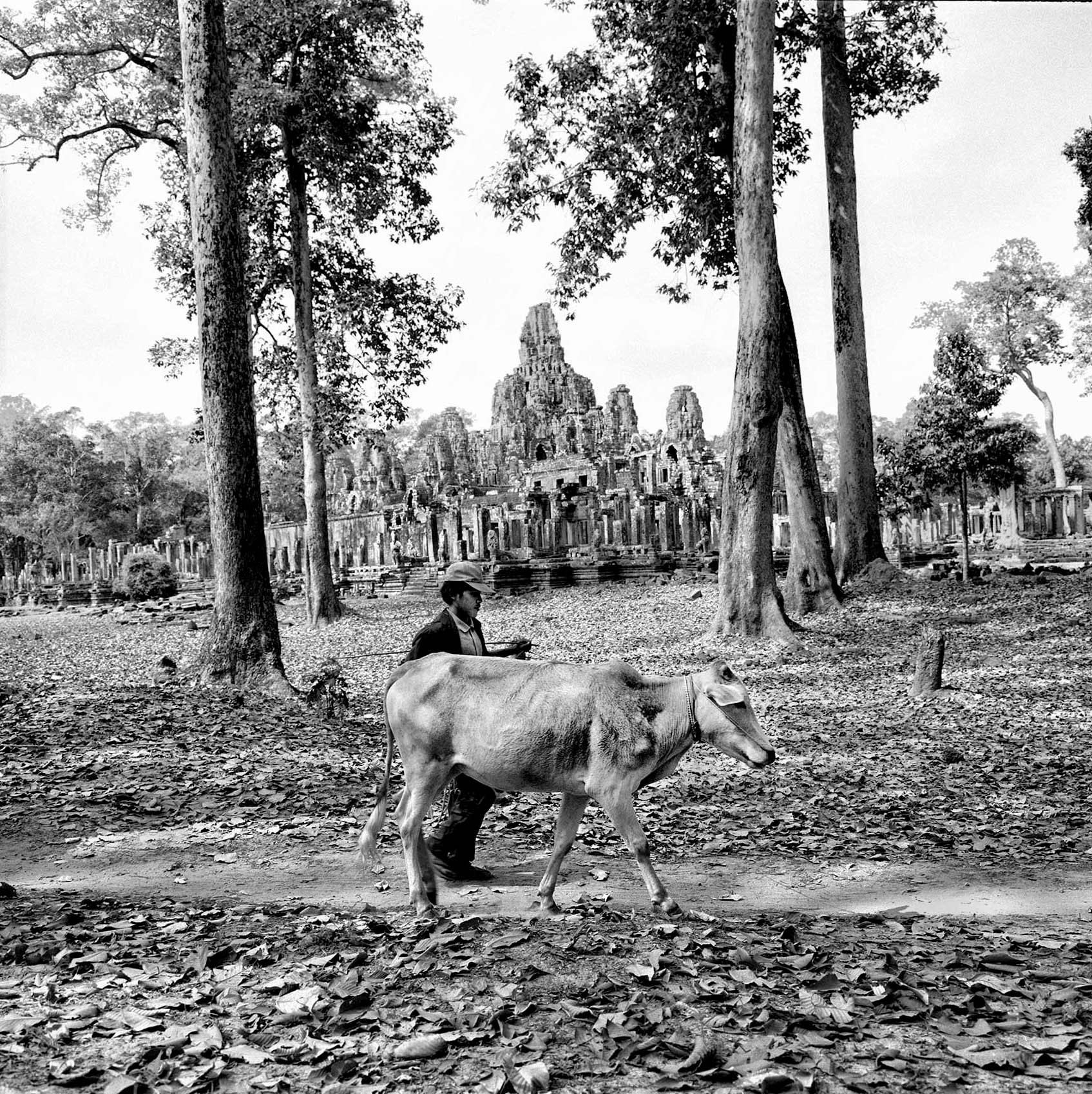 a-man-walks-his-cow-on-a-pathway-past-the-temple-at-angkor-wat-cambodia