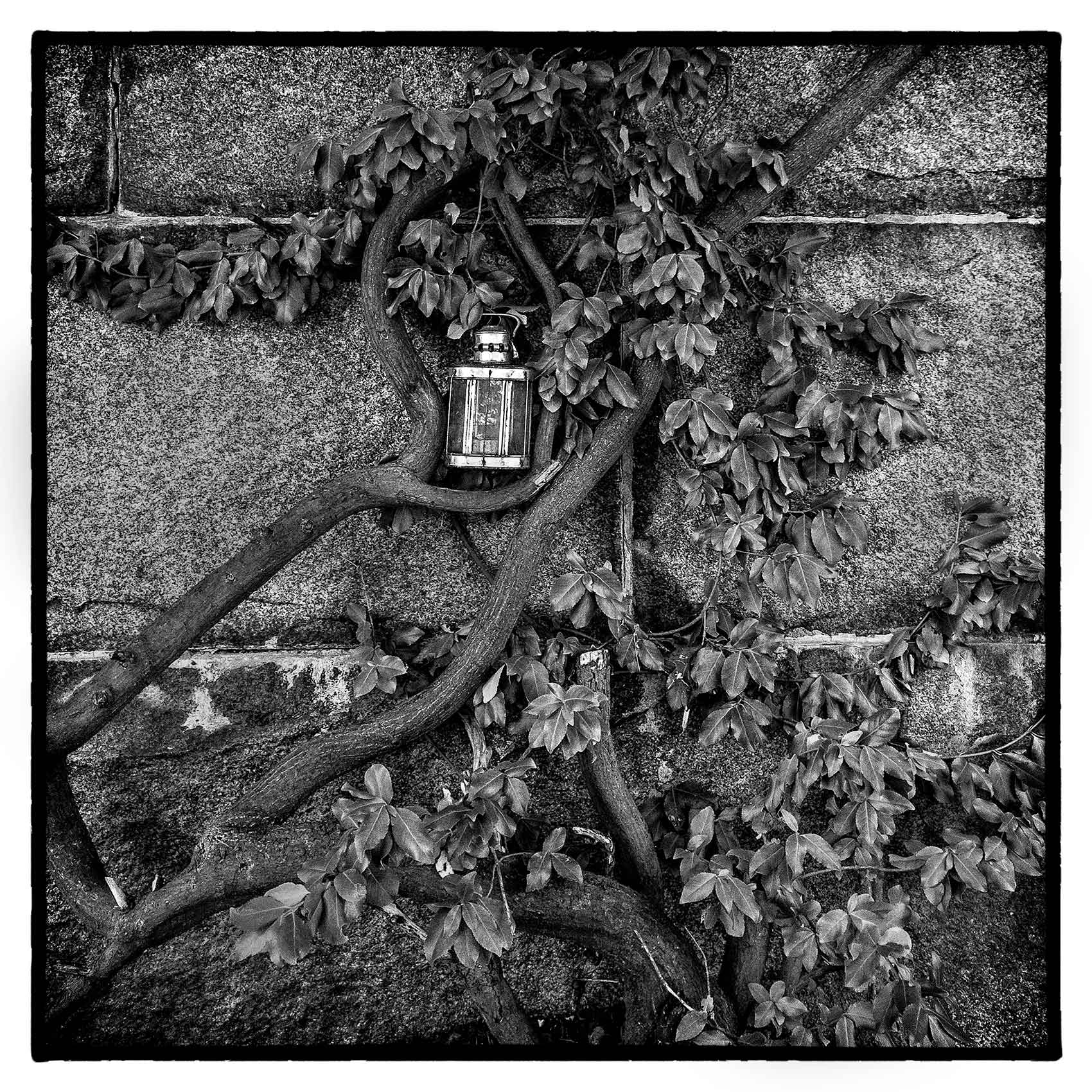 large old vines cling to a wall in Torontos oldest cemetery St. James