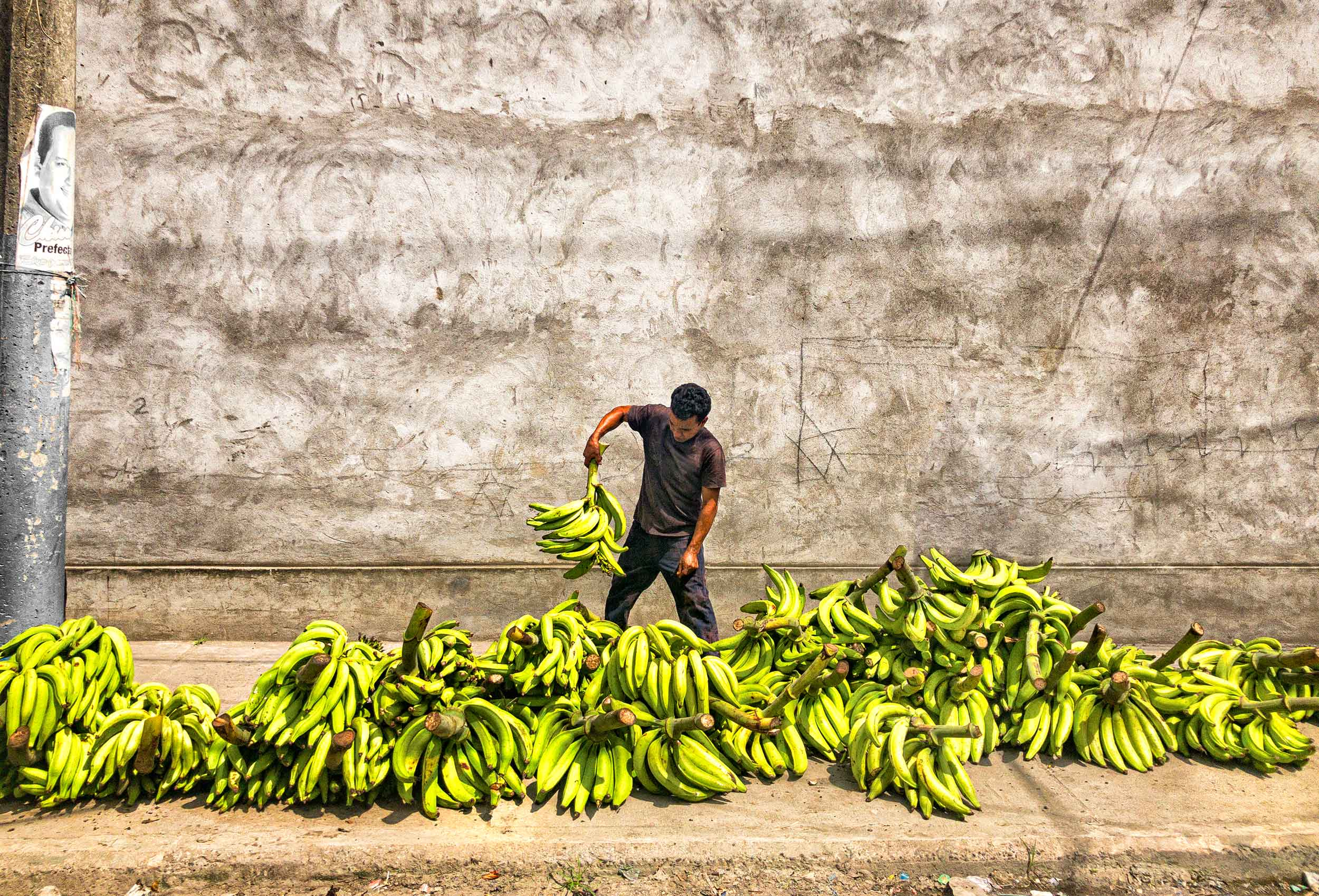 a street vendor in esmeraldas ecuador sorts his bananas before opening his stand for business