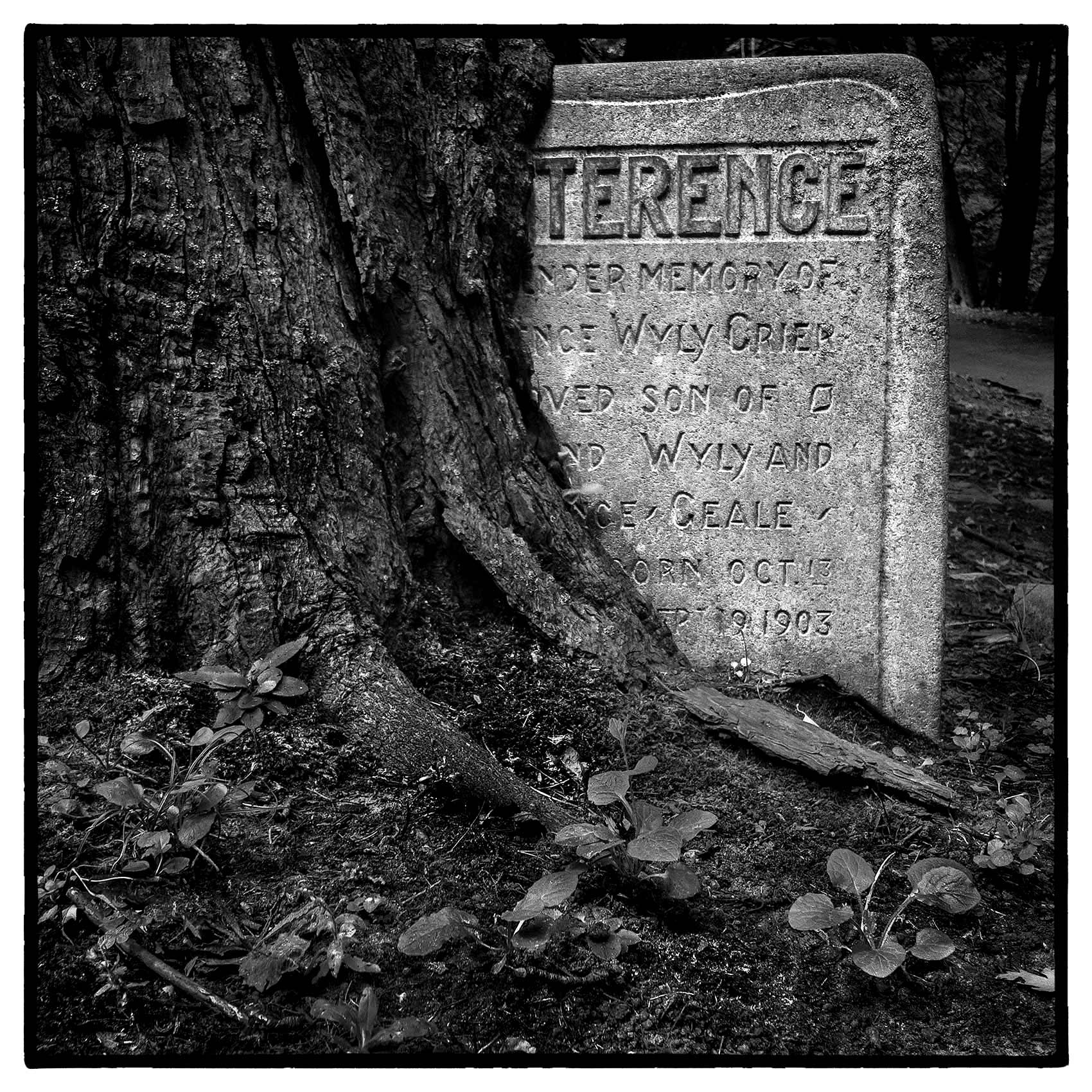 an old oak tree envelops a gravestone in torontos St. James Cemetary