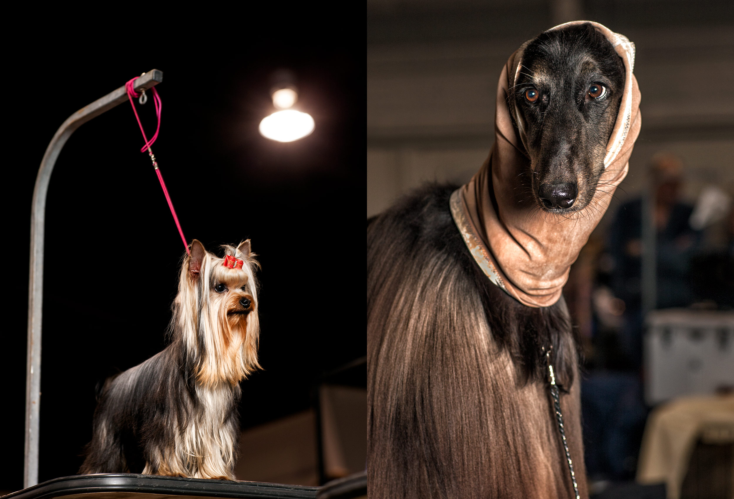 two-dogs-wait-to-be-groomed-at-the-purina-national-dog-show-in-torontos-high-res-web